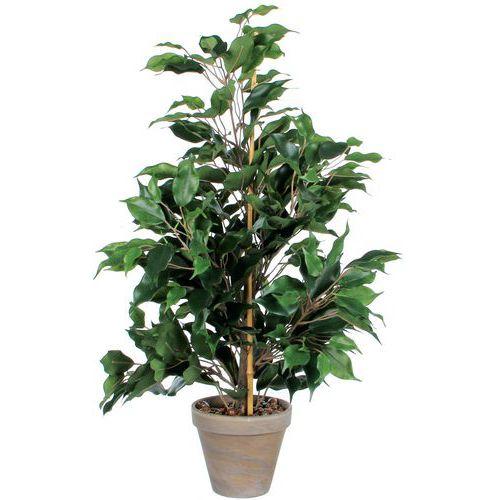 Ficus Exotica 65 cm